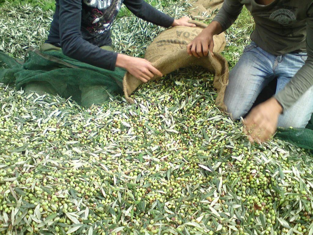 Πρέβεζα: Σε απόγνωση οι ελαιοπαραγωγοί λόγω ανομβρίας- Αναμένεται να ζητηθεί έκτακτη οικονομική ενίσχυση από το Υπουργείο Αγροτικής Ανάπτυξης